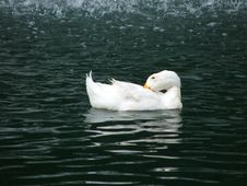 Free White Duck Stock Photography - 2334892