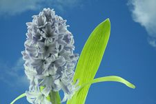 Free Hyacinths Royalty Free Stock Photography - 2335217