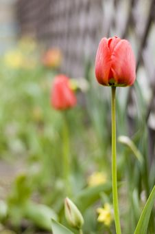 Free Red Tulips In Garden Royalty Free Stock Photo - 2336215