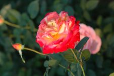 Free Rose 5 Royalty Free Stock Photography - 2336577
