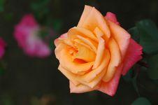 Free Orange Rose Stock Image - 2336591