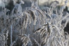 Frosty Reed On Cold Winter Day Stock Photos