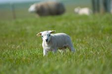 Free Cute Little Lamb Stock Images - 2337204