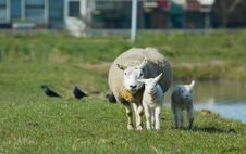 Free Mother And Two Lambs Stock Photo - 2337210