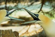 Northern Gannet Stock Photo