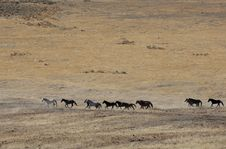 Wild Horses Running Royalty Free Stock Photography