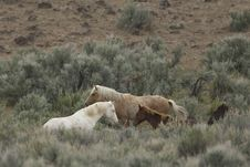 Free Three Wild Horses In Sage Stock Image - 2337901