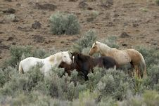 Free Three Wild Horses In Sage Stock Photography - 2337902