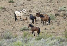 Wild Horses With Young Colt Royalty Free Stock Photography