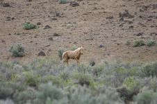 Lone Wild Horse Stock Images