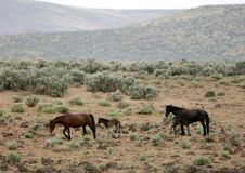 Wild Horses With Young Colt Stock Photos
