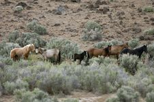 Free Wild Horses Standing In Sage Stock Photography - 2338002