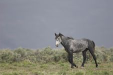 Free Wild Horse Walking Stock Photography - 2338022