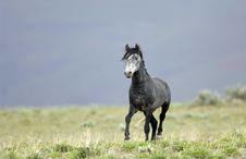 Free Wild Horse Walking Royalty Free Stock Photography - 2338037