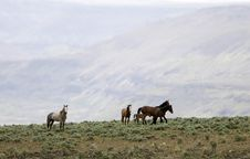 Free Wild Horses Standing On Ridge Royalty Free Stock Photo - 2338115