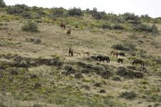 Wild Horses On Hillside Stock Photography