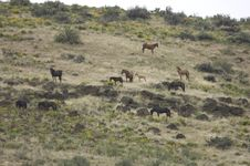 Wild Horses On Hillside Stock Images
