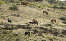 Free Wild Horses On Hillside Royalty Free Stock Photos - 2338198