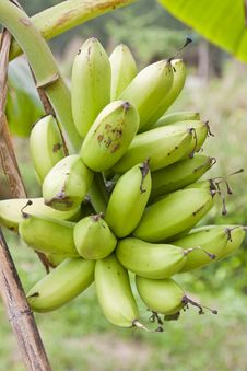 Free Bananas Stock Photography - 23304742