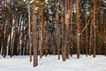 Free Tall Pine Forest Stock Photos - 23313743