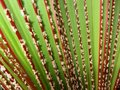 Free Bismarck Palm Leaves Background Royalty Free Stock Images - 23319429
