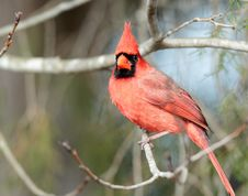 Free Male Cardinal Royalty Free Stock Photo - 23310345