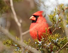 Free Male Cardinal Stock Photos - 23310443