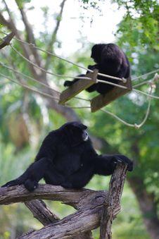 Free Black Siamang Royalty Free Stock Photo - 23310985