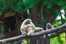 Free White Hand Gibbon Stock Photography - 23310992