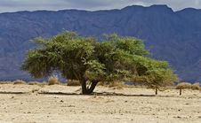 Free Lonely Acacia In Desert Of The Negev, Israel Royalty Free Stock Photography - 23310997