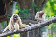 Free Gibbon Royalty Free Stock Photo - 23311025