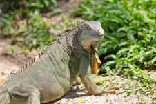 Free Lazy Iguana Lay Stock Images - 23311124