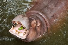Free Hippopotamus Royalty Free Stock Photo - 23311235