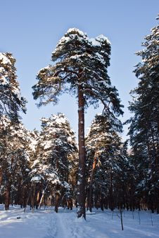 Free Trees In Winter Stock Photography - 23314072