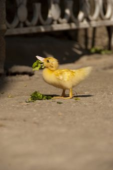 Free Duck Royalty Free Stock Image - 23315456