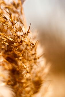 Free Dried Reed In The Winter Stock Photography - 23316682