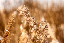 Free Dried Reed In The Winter Stock Photo - 23316720