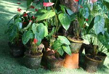 Free Anthurium Flowers Stock Image - 23318601