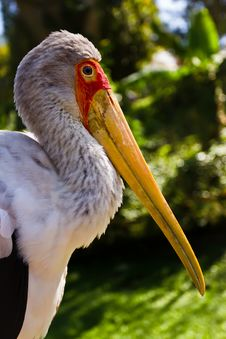 Free Yellow-billed Stork Stock Image - 23319461