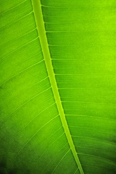 Free Green Leaf Texture Royalty Free Stock Photo - 23320155