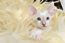Free Cute Baby Kitten In Fur Stock Photo - 23320930