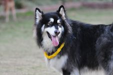 Free Alaskan Malamute Stock Photos - 23323033