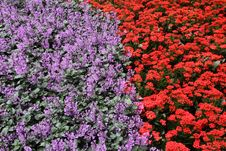Free Red & Purple Colour Flowerbed Background Stock Photos - 23323273