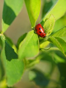 Free Ladybird Stock Images - 23326164