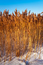 Free Reeds In The Sky Stock Photo - 23330780