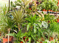 Free Ficus, Dracena Are Decorative Plants Stock Photography - 23331622