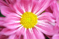 Free Pink Daisy In Garden Royalty Free Stock Image - 23332176