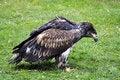 Free Bald Eagle Royalty Free Stock Image - 23335836