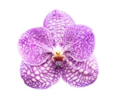 Free Purple Orchid Royalty Free Stock Image - 23332596