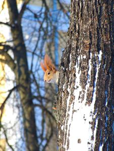 Free Little Squirrel Royalty Free Stock Photos - 23337818